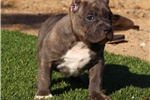 Picture of BEEFY POCKET PIT BULL... AVAILABLE!!
