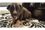 Picture of Stella - American Staffordshire Terrier