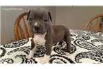 Picture of Rainy American Staffordshire Terrier AKC