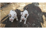Picture of Drake AKC American Staffordshire Terrier