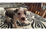 Picture of Skittles - American Staffordshire Terrier AKC