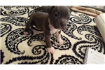 Picture of Trixie - AKC American Staffordshire Terrier