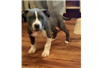 Picture of Remmi American Staffordshire Terrier AKC
