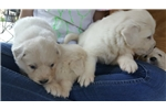 Picture of Great Pyrenees Puppies