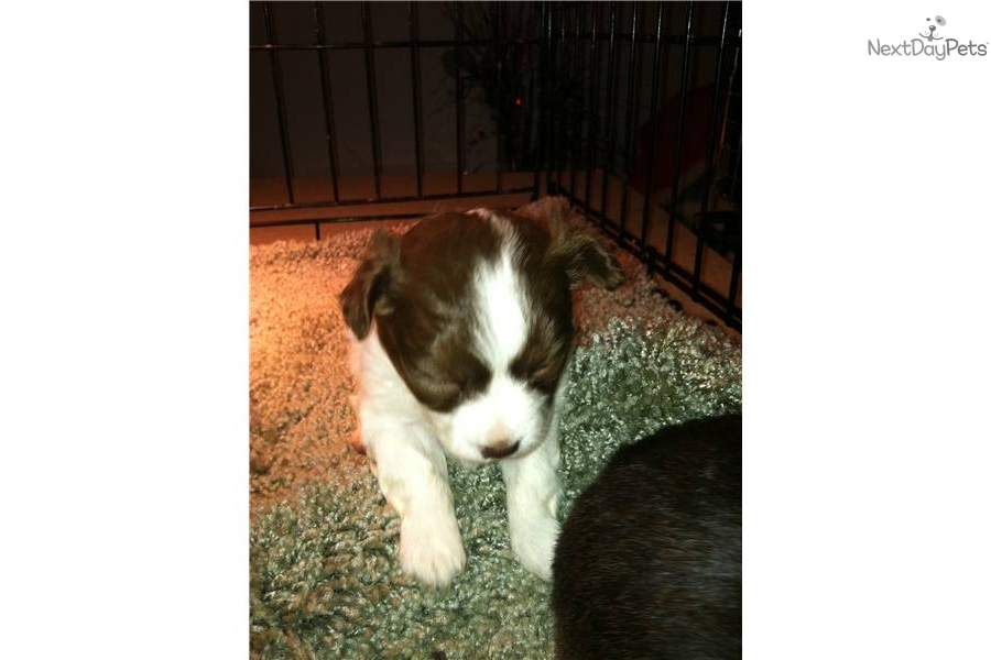 chihuahua puppies for sale teacup chihuahuas for sale munchkinland ...