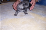 Picture of Keeshond puppy