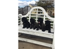AKC puppies | Puppy at 8 weeks of age for sale