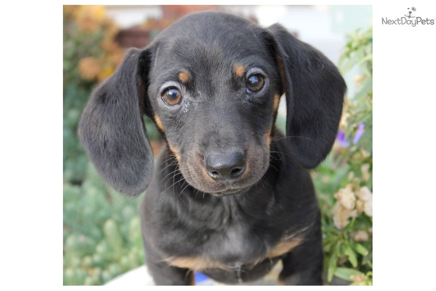 Dachshund for sale for $500, near Joplin, Missouri. ca831a37-fe71