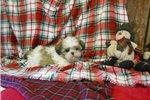 Picture of Shihtzu puppies www.countylinekennelh4.com