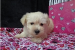 Picture of Morkie Puppies