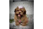 Picture of Chocolate Female Havanese