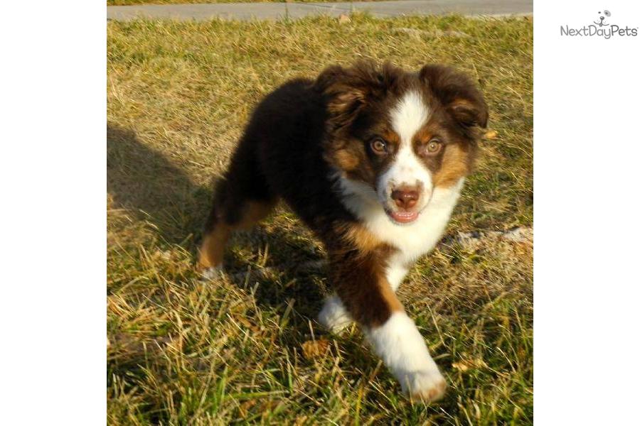 Miniature Australian Shepherd puppy for sale near St ...