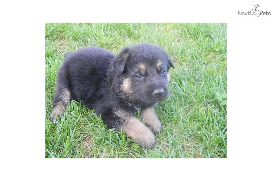 Meet Jax A Cute German Shepherd Puppy For Sale For 600