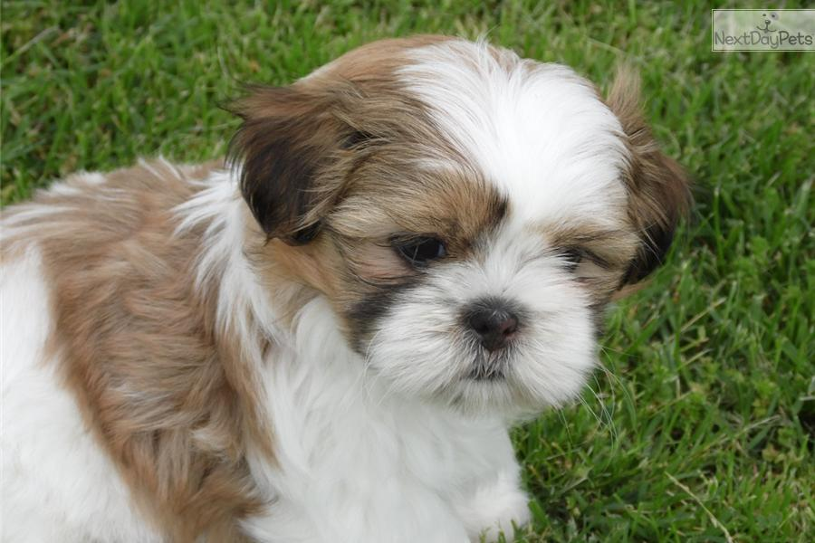 Shih Tzu Puppies For Sale In Mo