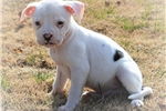 Tank~! Just what your kid's have always wanted!!!  | Puppy at 7 weeks of age for sale