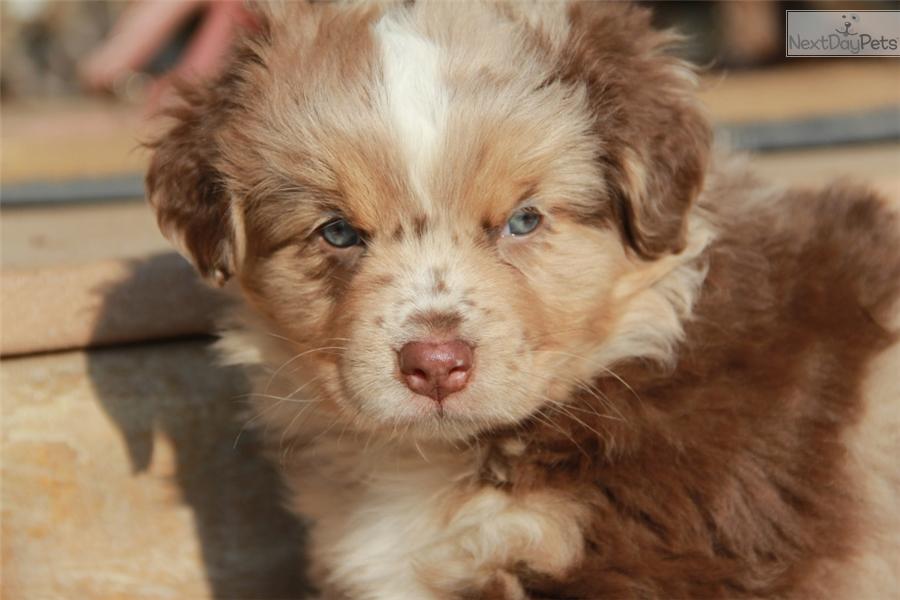 Dogs For Sale Missoula Montana
