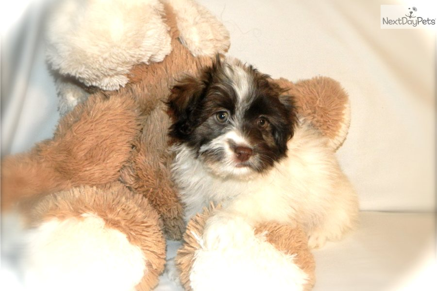 Havanese for sale for $795, near Washington DC. 1a387290-41f1