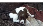 Picture of Pick of the Litter Liver and White Male