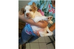 Picture of Orange & White Male (#1 Full AKC Registration)