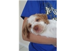 Picture of Orange & White Male #1 (Full AKC Registration)