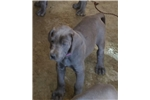 Picture of Euro Blue Great Dane Puppies