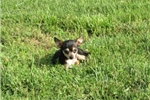 Picture of Tcup Female Chihuahua