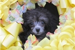 Picture of Beautiful Tcup Female Poodle