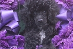 Picture of Beautiful Female Toy Poodle