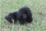 Picture of Beautiful Solid Black Female Toy Poodle