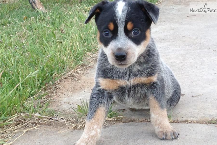 blue heeler rescue texas related keywords blue heeler. Black Bedroom Furniture Sets. Home Design Ideas