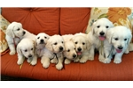 Picture of ENGLISH GOLDEN RETRIEVER PUPPIES - purple boy