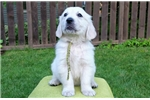 Picture of English Golden Retriever puppy - 1 boy left