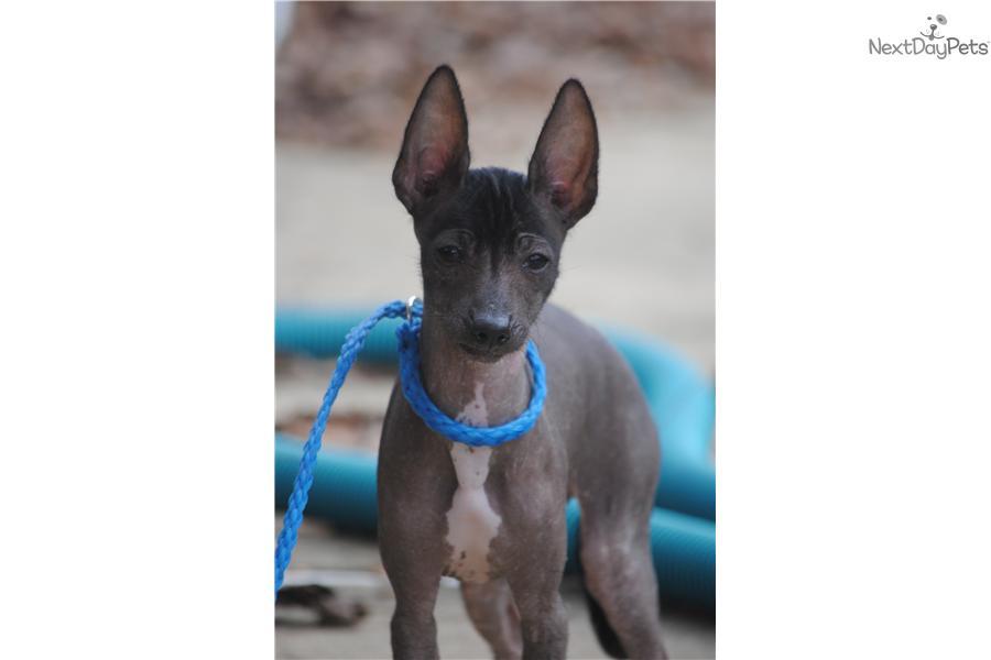 Xoloitzcuintli Puppy For Sale Near Charlotte North Carolina Xoloitzcuintli For Sale In California