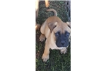 AKC Bullmastiff Female (Ginger) | Puppy at 9 weeks of age for sale