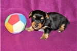 Picture of Male Yorkie For Sale