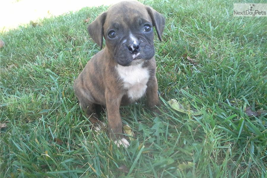 Boxer Dogs For Sale In Indiana