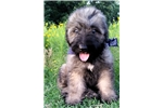 AKC Bouvier Puppy Fawn Male | Puppy at 11 weeks of age for sale