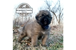 Picture of AKC MAX *****READY FOR SPRING!!!*****