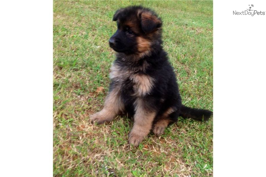 German shepherd puppy for sale near birmingham alabama f4ac874f