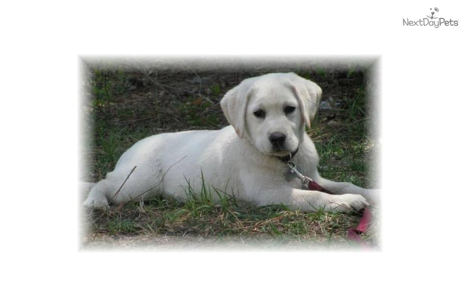 Akc Yellow White Blonde Labrador Lab Retriever Breeder ...
