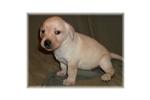 Picture of a Lagotto Romagnolo Puppy