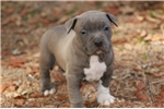 Picture of Beautiful Blue Male Available (Xmas Eve Baby)