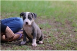 Picture of Beautiful Blue & White Male Available
