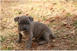 Picture of Blue Brindle Male - Nox