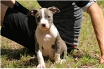 Picture of Beautiful Blue & White Female Available