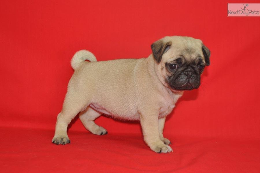 Pug Female Puppy Names