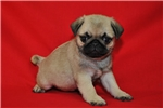 Picture of AKC Pug Fawn Female