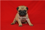 Picture of AKC Pug Female Fawn