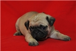 Picture of AKC Pug Male Fawn