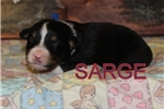 Picture of AKC Sarge